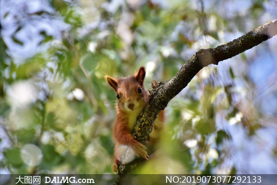 趴在树枝上的 松鼠特写摄影高清图片