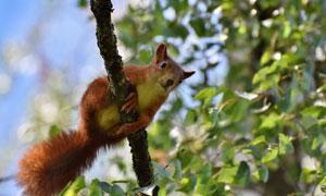 树上托着大尾巴的松鼠摄影高清图片