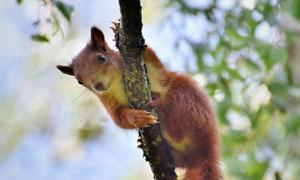 在树上撒欢儿的小松鼠摄影高清图片