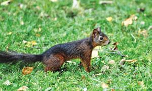 一直保持着警惕的松鼠摄影高清图片