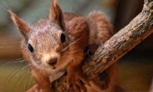 耳朵竖起来的松鼠特写摄影高清图片
