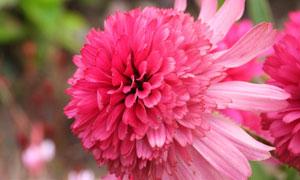 层次分明的粉红色鲜花摄影高清图片