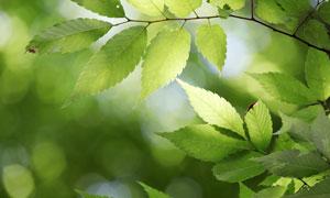 春夏时节树枝绿叶特写摄影高清图片