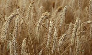 在农田里成熟的小麦穗摄影高清图片