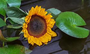 绿叶与成熟的向日葵花摄影高清图片