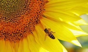 蜜蜂光顾的向日葵特写摄影高清图片