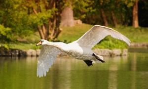 水面上低空飞行的天鹅摄影高清图片