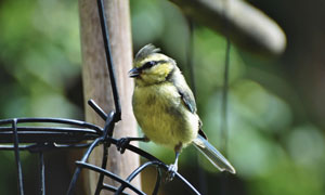 鸟笼上的一只小鸟特写摄影高清图片