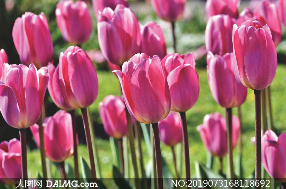植物园里的粉色郁金香摄影高清图片