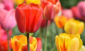 多种颜色鲜艳的郁金香摄影高清图片