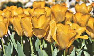 紧挨一起的黄色郁金香花丛高清图片