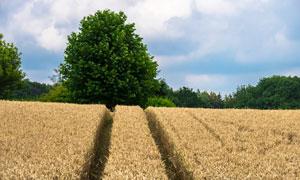 白云树木与成熟的麦田摄影高清图片