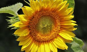 黄色花瓣的向日葵特写摄影高清图片