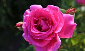 粉红色玫瑰花绽放情景特写高清图片