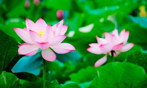 粉红色的荷花盛开微距摄影图片