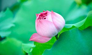 含苞待放的粉色荷花摄影图片