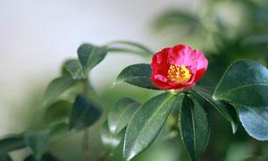 红色的山茶花特写摄影图片