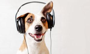头上戴着耳机的狗特写摄影高清图片