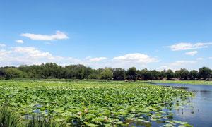 蓝天下的荷花池高清摄影图片