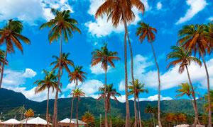 蓝天下的椰树林摄影图片