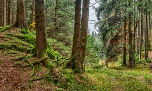 森林中的参天大树摄影图片