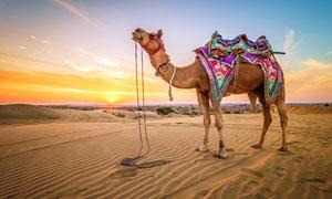 夕阳下沙漠上的骆驼摄影图片