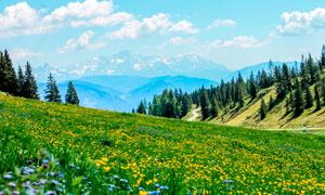 山坡上美丽的花海摄影图片