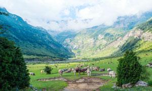 大山脚下的草原和牧牛群摄影图片