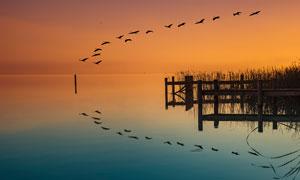黄昏下在湖上飞过的大雁摄影图片