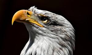 一只抬头往上看的老鹰特写摄影图片
