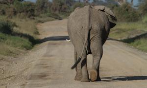 跑到公路上溜达的大象摄影高清图片
