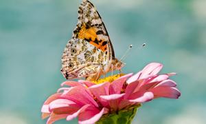 粉红花朵上的蝴蝶特写摄影高清图片
