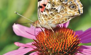 粉红色花瓣的花卉上的蝴蝶特写图片