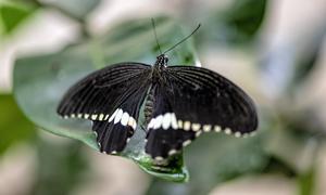 绿叶上的黑色蝴蝶特写摄影高清图片