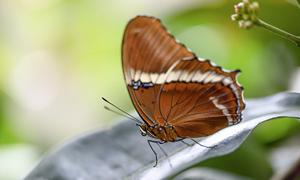 绿叶上的棕色蝴蝶特写摄影高清图片