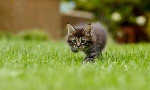青草地上的一只小猫咪特写高清图片