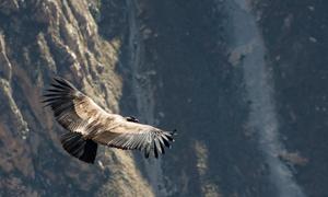 在大山中翱翔的鹰俯瞰摄影高清图片