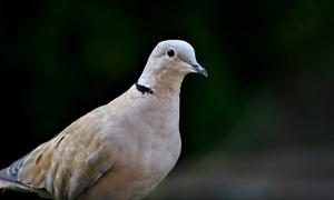 黑色背景灰色鸽子特写摄影高清图片