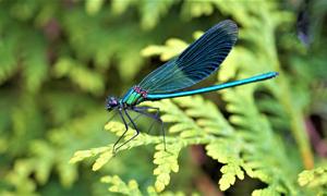 绿叶植物上的蜻蜓特写摄影高清图片
