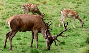 在草地上觅食的一群鹿摄影高清图片
