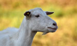 一只有标签的山羊特写摄影高清图片