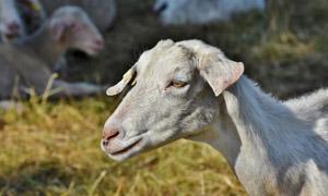 畜牧养殖场里的羊特写摄影高清图片