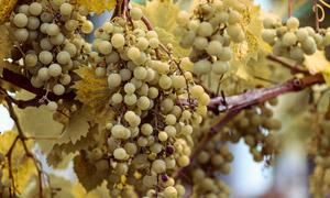 挂满了枝头的葡萄特写摄影高清图片
