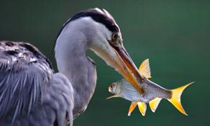 嘴里叼着一条小鱼的鸟摄影高清图片