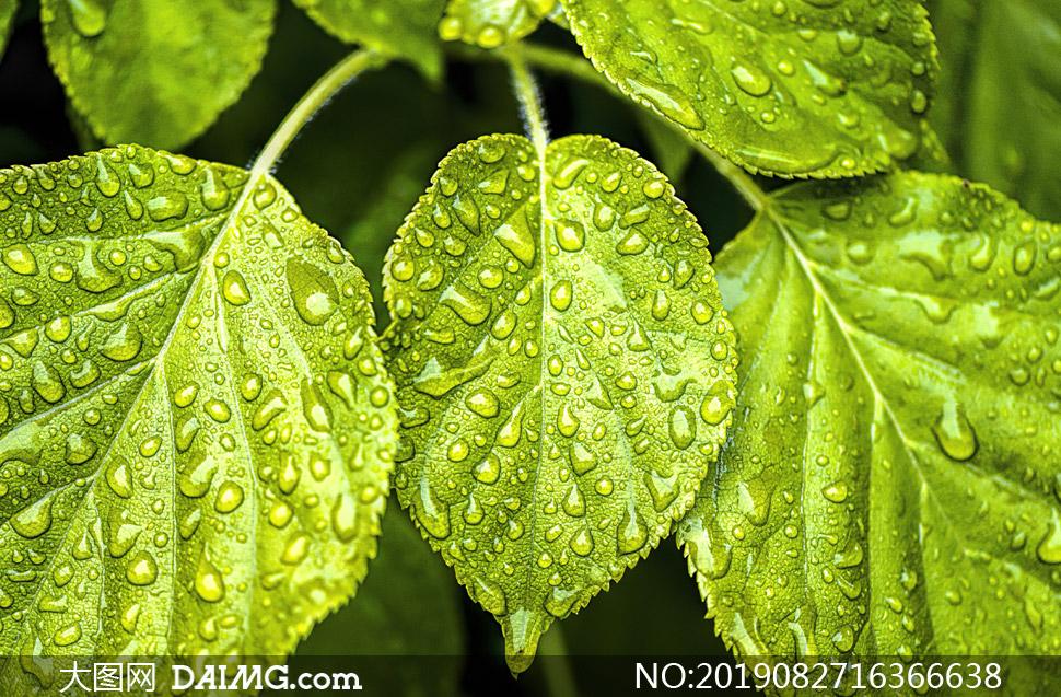 雨后绿叶植物近景特写摄影高清图片