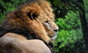 正在卧着休息健壮狮子摄影高清图片