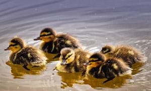一群在游水的小鸭子们摄影高清图片