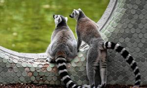 保持戒备的俩环尾狐猴摄影高清图片
