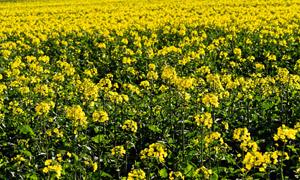 花开绽放的油菜地风景摄影高清图片