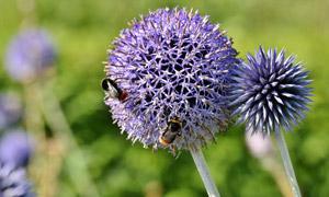 被蜜蜂造访的紫色花球摄影 澳门线上必赢赌场